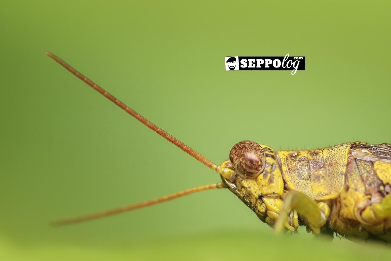grasshopper-1130458_1920